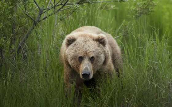 медведь, кадьяк, природа, фото, new, screensaver, sign, день, every, браун