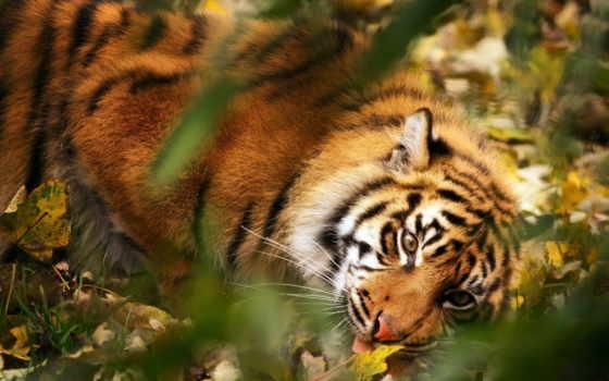 тигр Фон № 6256 разрешение 1920x1200