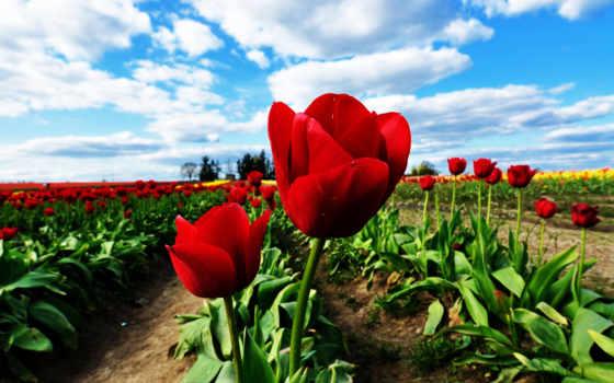 цветы, тюльпаны, небо