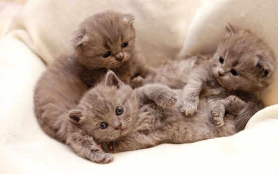 кошки, серые, browse