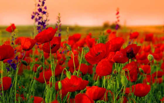 маки, campo, amapolas, cvety, fondos, pantalla, поле, rojas, summer, flores,