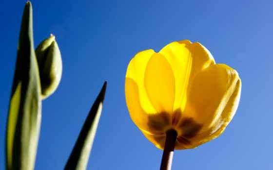 тюльпан, yellow, тюльпанами, тюльпаны, cvety, голубом, share, fone, назад,