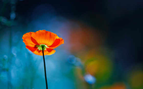 poppies, poppy, flowers, цветы, views, red, desktop,