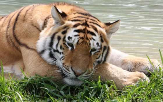рык, мужской, тигр, siberian, tigers, lions, zoo, granby, amur,