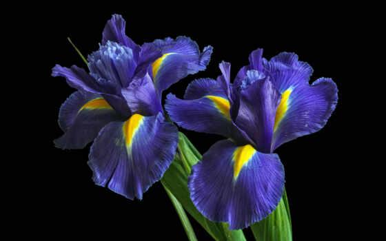 цветы, iris, purple, cvety,, blue