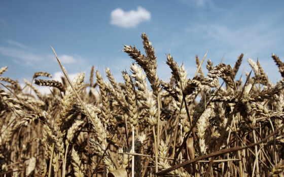 пшеница, priroda, dorogoi, hristianskii, amazon, бесплатный, глаз, интернет, magazin, время, pole