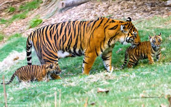 хищник, тигрица