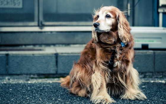 взгляд, собака, кокер, hotwalls, улица, spaniel, улице, вопросы, смотрите, разрешении, партнёры, случайные, admin, отправлять, пожелания, авторские, вернуться, модерации, топ, права,