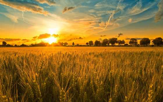 поле, колосья, закат
