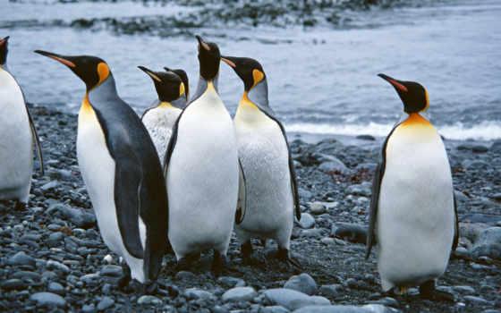 пингвины, милых, обитателей