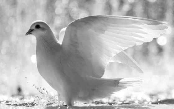 белый, голубь, птица, крылья, перья,