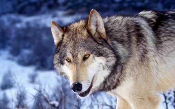волк, ordinary, серый