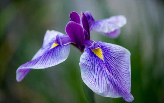 цветы, iris, лепестки, сиреневый, макро,