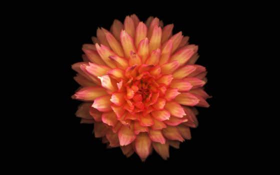 iphone, цветы, оранжевый