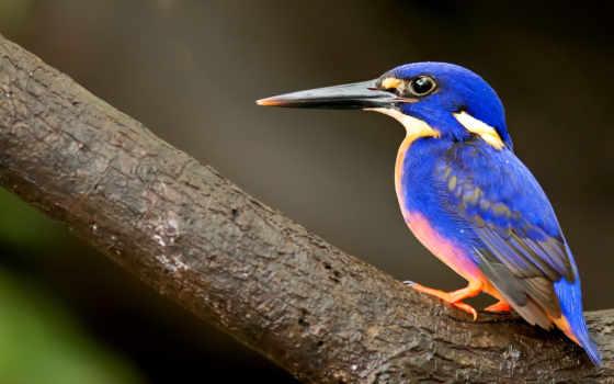 птица, клюв, kingfisher, длинным, клювом, птицы, синим,
