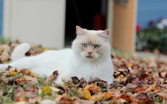 кот, blue, eyes, white, cats, cute,