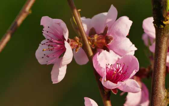 flowers, цветы, весна, ноутбук, free, mobile,