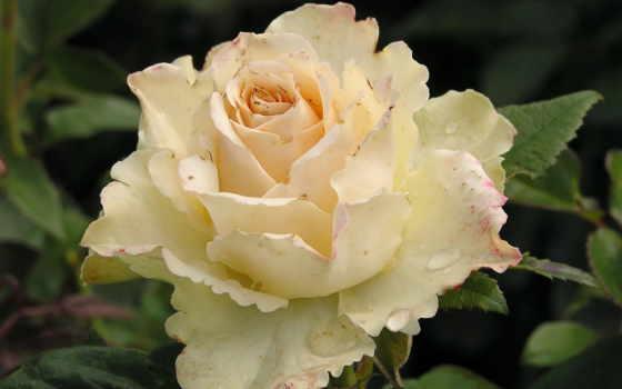 розы, цветы, white