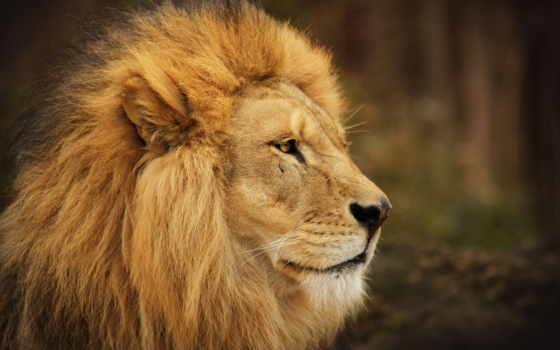львы, lion, львица Фон № 56804 разрешение 2560x1440