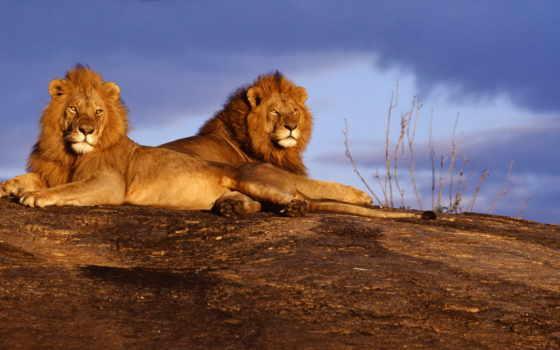 paisajes, африка, fotografías, áfrica, fauna, pavel, del, las, kenya, vyazovich, lion,