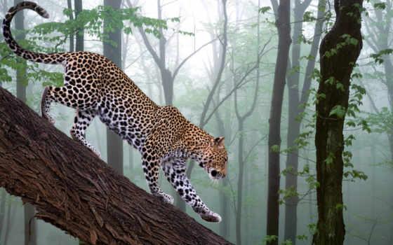 леопард, животные, дерево