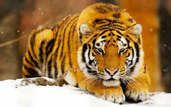 спокойствие, тигр