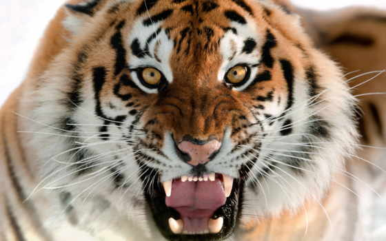 ухмылка, тигр, морда, amur, кот, клыки, взгляд, zhivotnye,