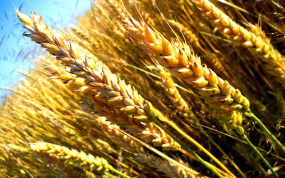 пшеница, поле, злаки, макро, зерна, небо, семена,
