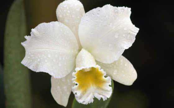 орхидея, белая, орхидеи, капельками, waters, classpic, фаленопсис, белые,