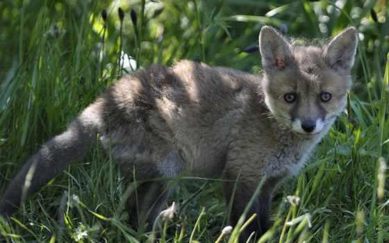 zhivotnye, лисы, фокс, foxes, animals, null, пламя,