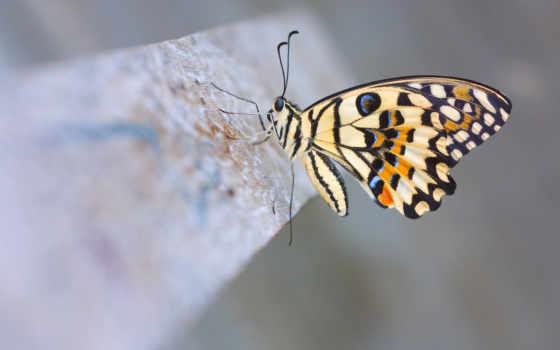 lime, butterfly, лимонный, макро, демолей, парусник, животные, картинка, picsfab,