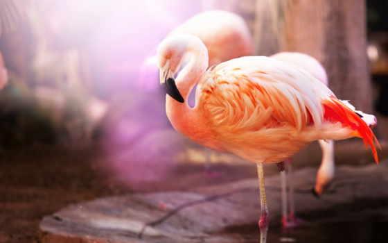 фламинго, группу, основные