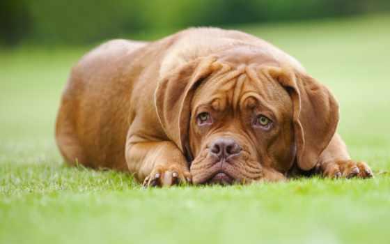 собака, бордоский, газон