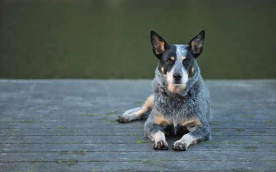 хилер, australian, собак