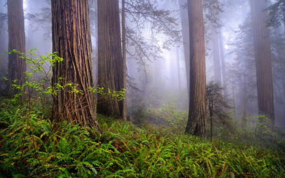 сша, природа, redwoods