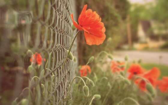 flowers, poppy, цветы