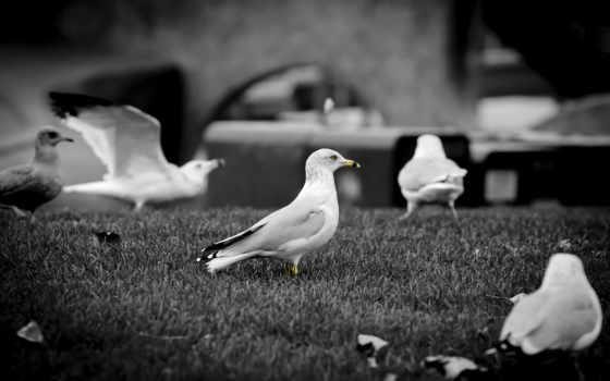 чб, чайки, птицы,