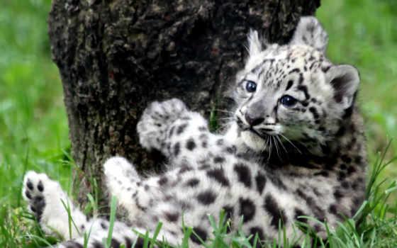 снег, леопард, снежного, барса, котенок, ирбис, дерева, кошки, яndex,