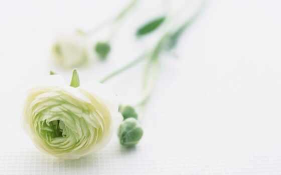 martha, фон, white, роза, отображаться, зелёный