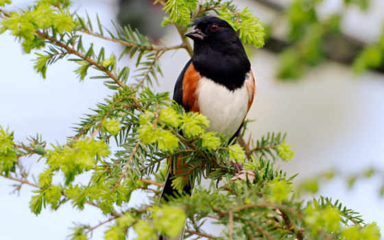 wild, desktop, rufous, click, bird, sided, male, towhee, animal, background, sparrow, , this,