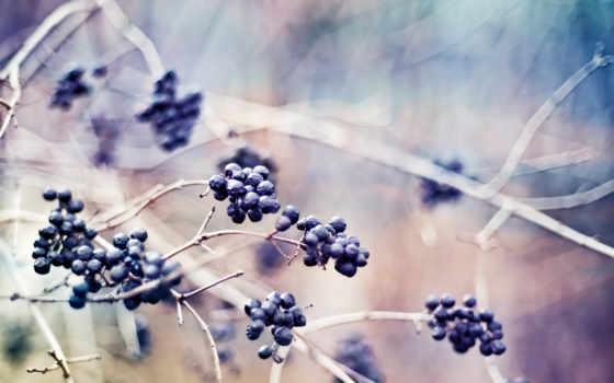 ягоды, макро, растения, ветки, природа,