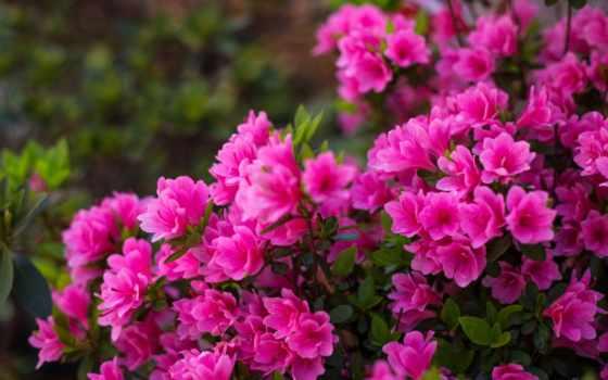 цветы, комментарий, азалия