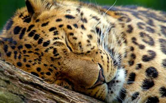 леопард, sleeping, marwell