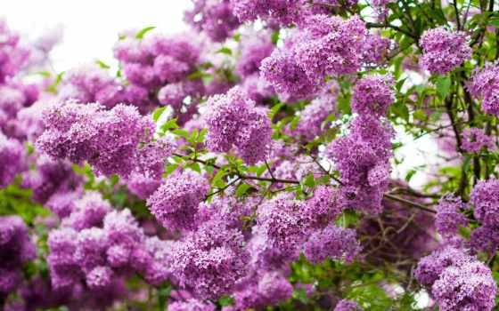 cvety, природа, ветки, сиреневый, листва, весна,