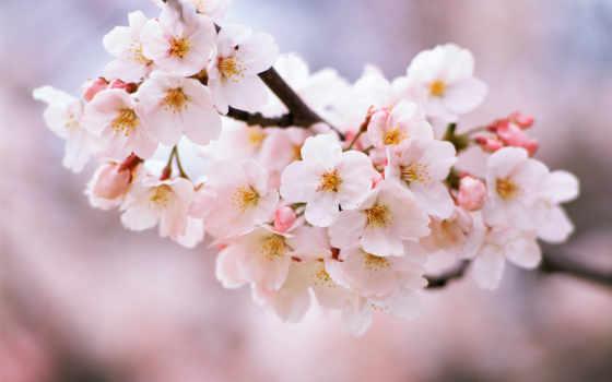 cherry, Сакура, цветет, branch, вишни, цветущая, цветение, когда,