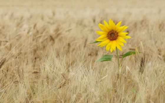 поле, красивые, подсолнух, природа, ukraine, пшеница, красиво, страница, пшеничном, comfort, украины,
