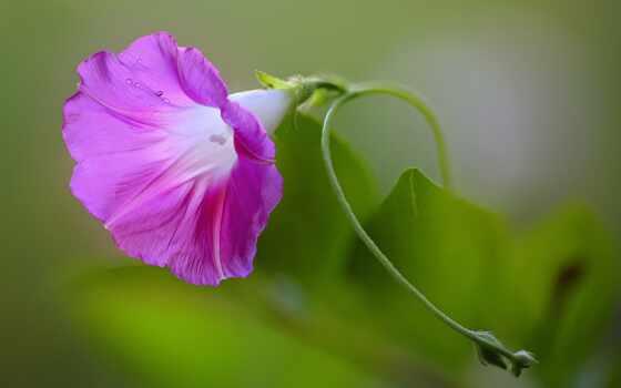 утро, розовый, макро, glory, pinterest, flowers,