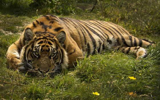 тигр, кошки, кот
