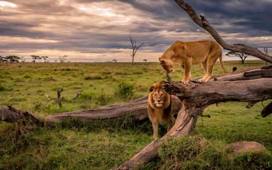 африка, львица, трава, animal, дерево, lion, природа, left, поле