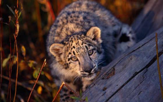 leopard, desktop